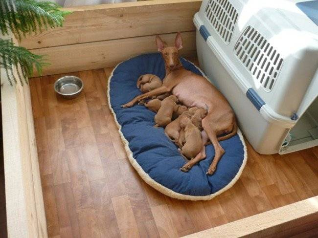 Срок беременности собак мелких пород