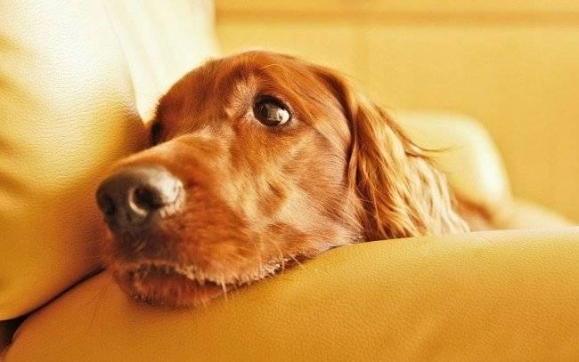 Уход за собакой после кастрации