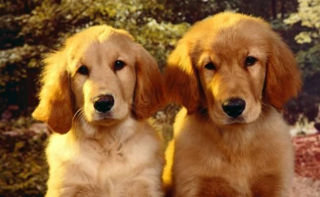 Рост щенков старше 6 месяцев
