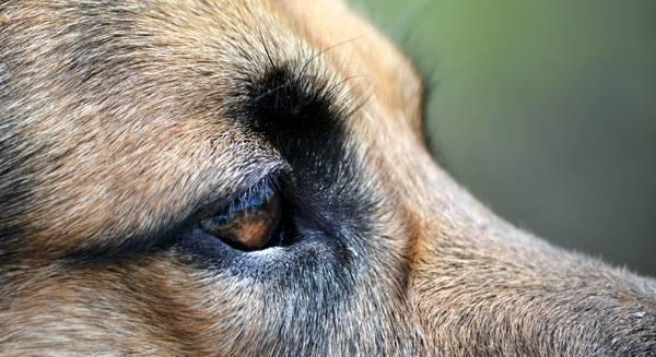 Болезни глаз у собак