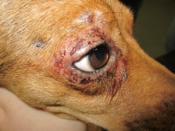 Дерматит глаз у собак