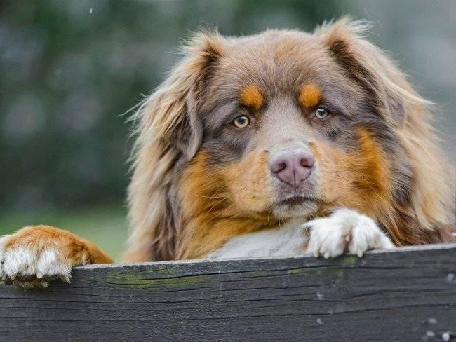 Красивая австралийская овчарка