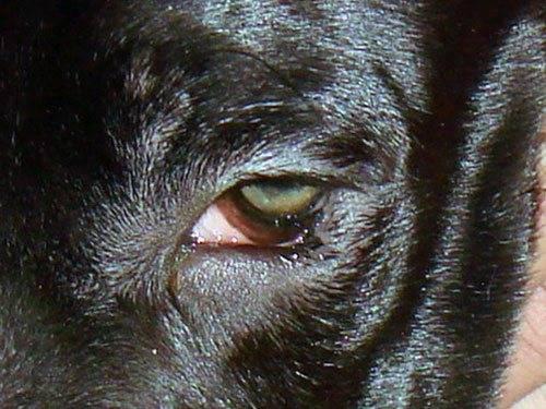 Эктропион у собак