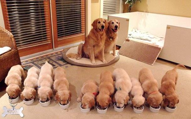 Этапы вязки собак