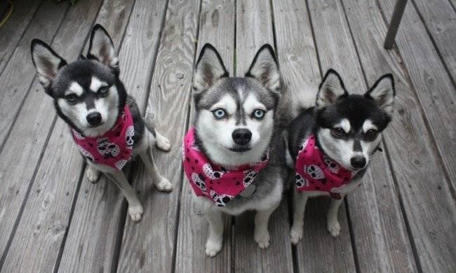Друзья аляскинские кли-каи