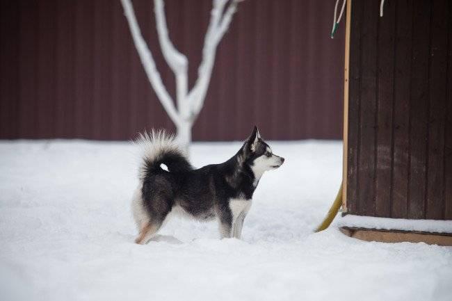 Красивый аляскинский кли-кай