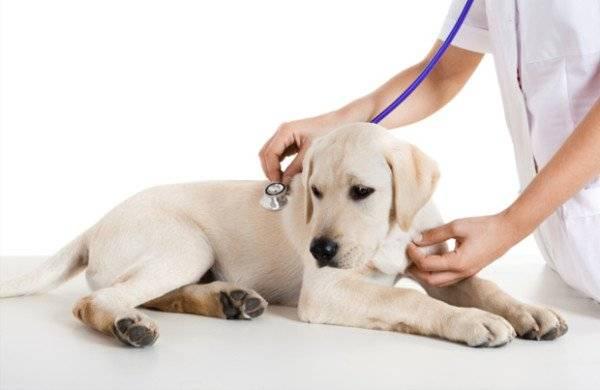 Ревматический миозит у собак