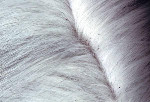 Аллергия на блох у собак
