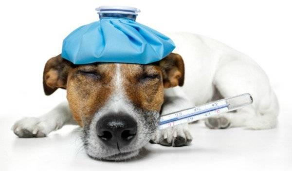 Воспаление легких при кашле у собак
