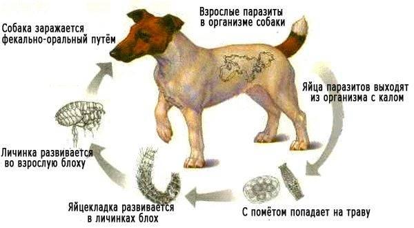 Как собака заражается глистами