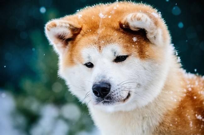 Акита-ину в снегу