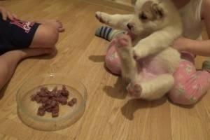Чем кормить алабая