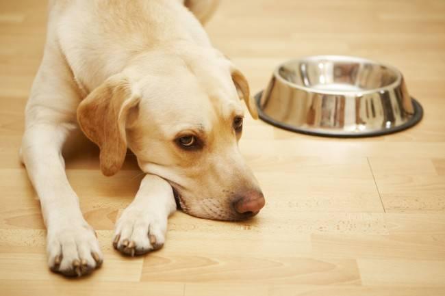 Собака не ест при температуре