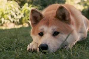 Хатико - порода собаки акита-ину