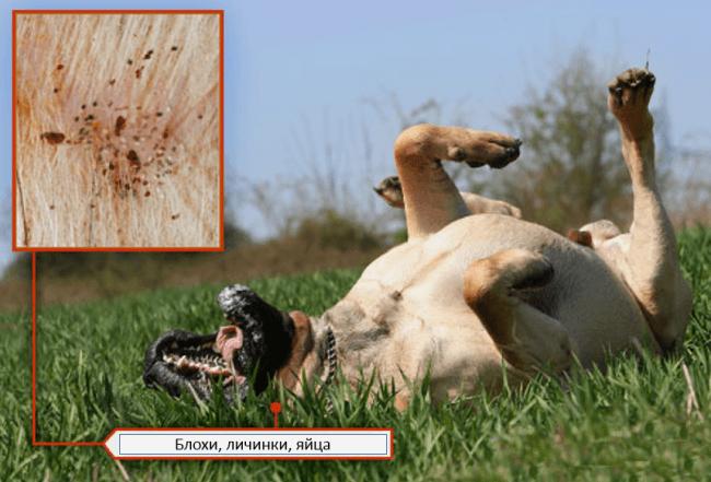Как собака заражается блохами