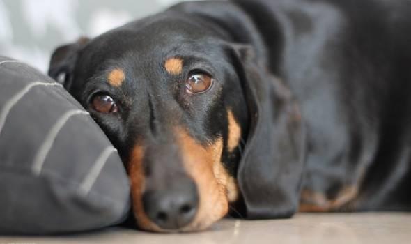 Вирус у собак при гное в глазах