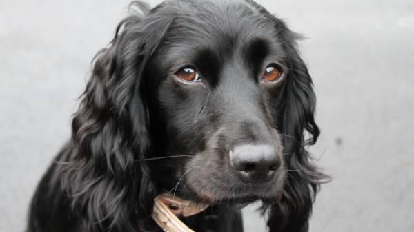 Лейкоз у собак симптомы