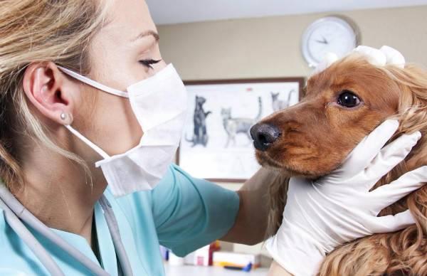 Лечение лейкоза у собак