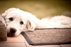 Опухоль молочной железы у собак