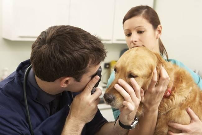 Помощь ветеринара при болезнях глаз у собак