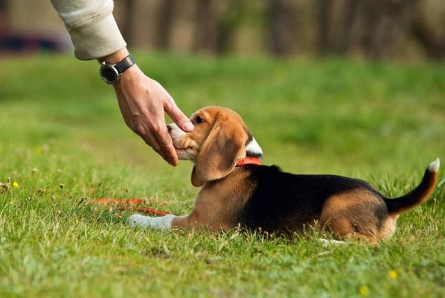 Как воспитывать щенка