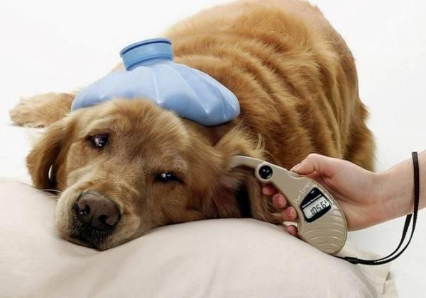 Диабет у собак