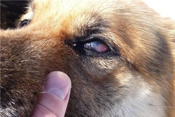 Слезоточивость и гной в глазах у собаки