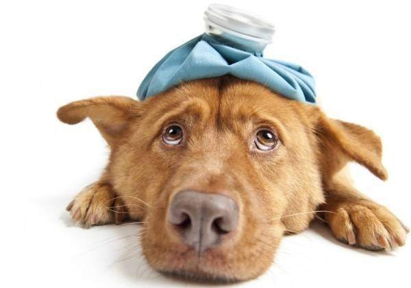Сухой нос при простуде у собак