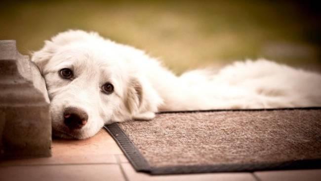 Симптомы рака молочной железы у собак