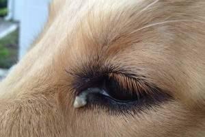 У собаки гноятся глаза. Что делать