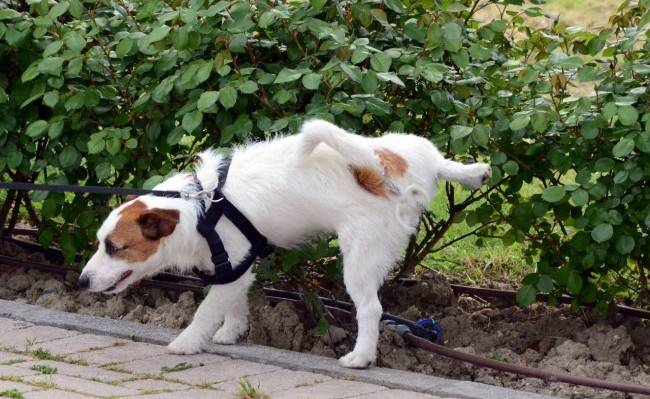 Приучение собаки к уличному туалету