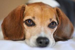 У собаки слезятся глаза. Что делать