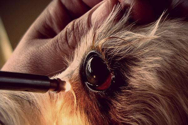 Лечение третьего века у собаки