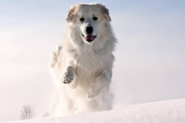 Отит у собак при переохлаждении
