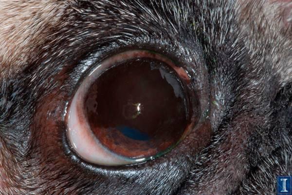 Пигментный кератит у собаки