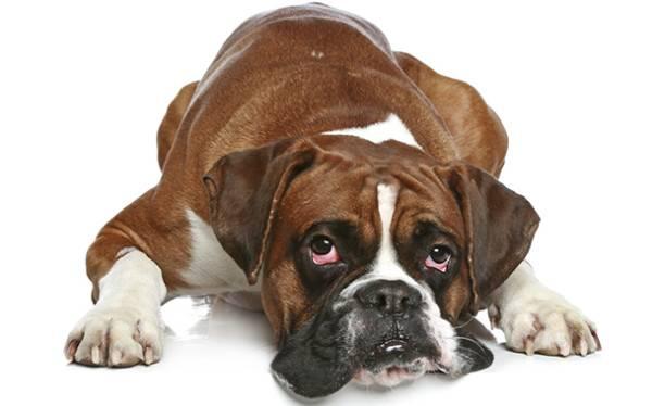 Катаракта у собак протекает в двух формах
