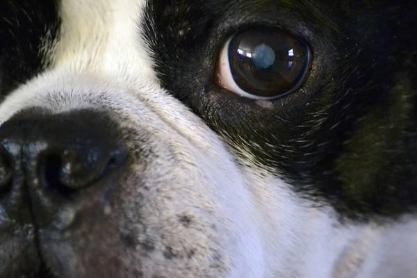 Мутный хрусталик у щенка