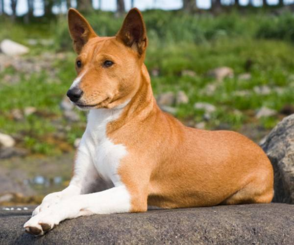 Басенджи: фото собаки, цена, описание породы, характер, видео