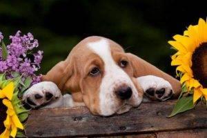 Бассет-хаунд в цветах