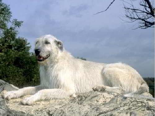 Белый ирландский волкодав