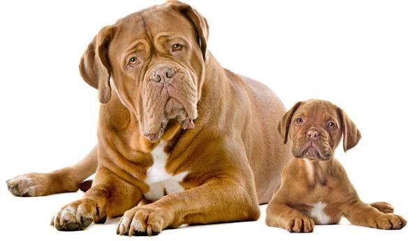 Бордосский дог с щенком