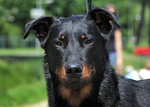 Босерон порода собак