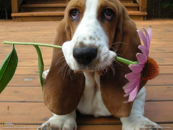 Бассет хаунд собака фото
