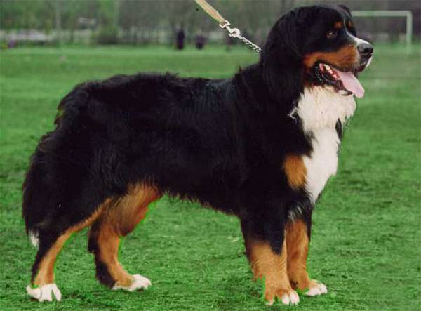 Порода собаки бернский зенненхунд