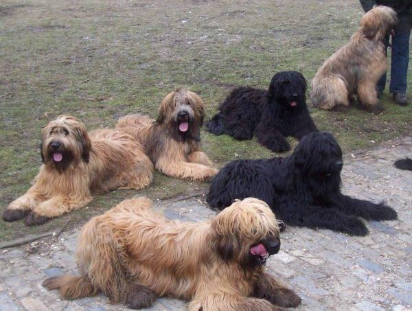 Собаки бриары