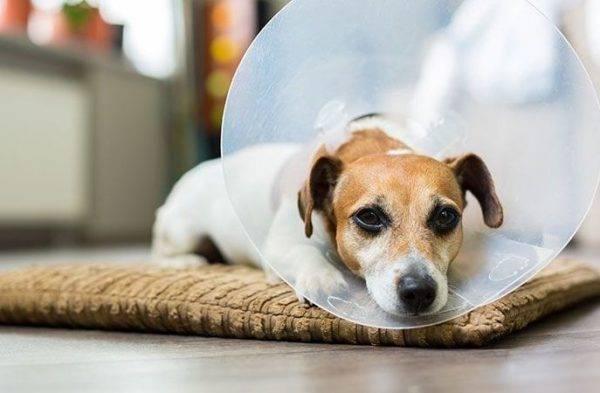 Ветеринарный воротник для лечения лишая