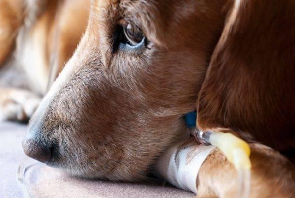 Как вылечить пиометру у собак