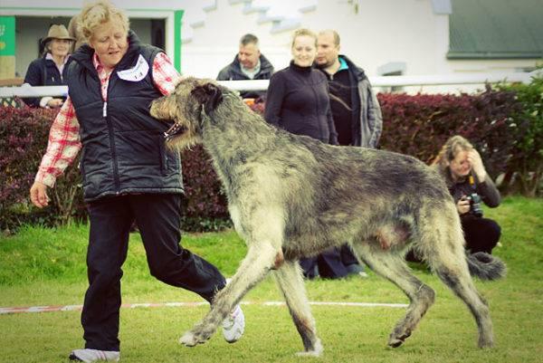 Уход за ирландским волкодавом