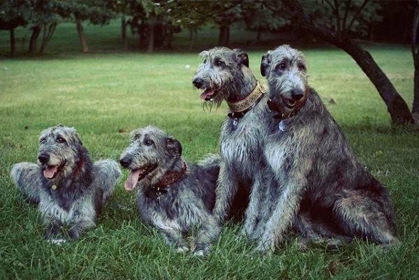 Характер ирландских волкодавов