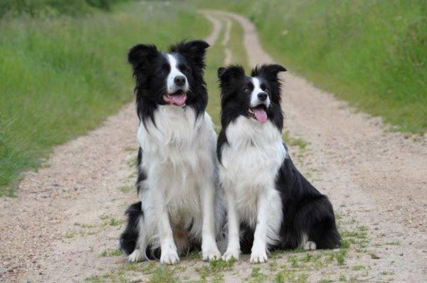Бордер-колли собака